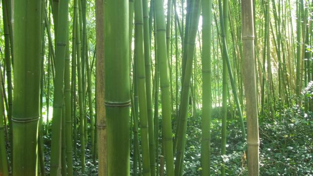 la bambouseraie de l'île Tristan