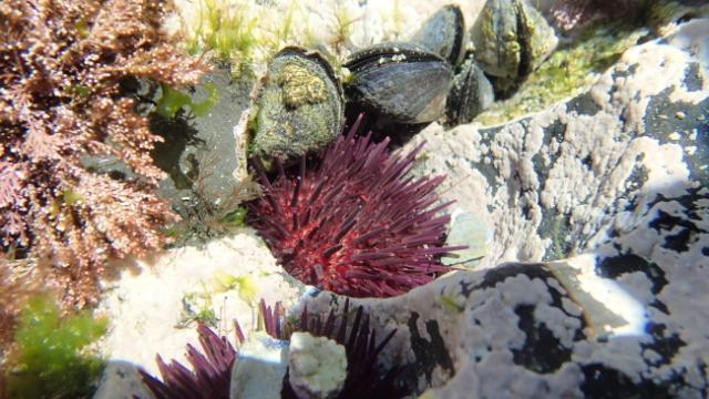 L'oursin violet (Paracentrotus lividus) est un herbivore benthique qui se nourrit principalement d'algues