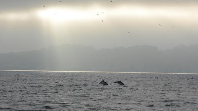 Dauphins communs (Delphinus delphis) en chasse.