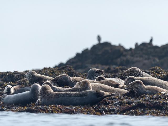 Phoques gris dans le parc naturel marin d'Iroise, réserve naturelle de Molène